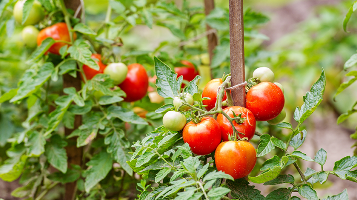 Tomato plants are easy to grow and remarkably productive. Tomatoes are long-season, heat-loving plants. They can grow in pots just about anywhere you have a sunny spot — no garden bed required.